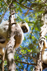 LEMUR-PARK-23 (RAFFI YOUREDJIAN PHOTOGRAPHY) Tags: park city travel trees plants baby white cute green animal fauna canon river jumping sweet turtle wildlife bricks mother adorable adventure explore lemur 5d lemurs bushes madagascar 70200 antananarivo mkiii