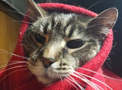 Shrouded Ivan (horsepj) Tags: red cat indiana blanket purr bloomington