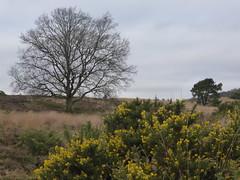 Springfeelings in wintertime, genista blooming at Posbank (Alta alatis patent) Tags: winter yellow postbank veluwe genista