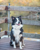 11/12 Annie Sittin' on the Dock of the Bay (smile KB) Tags: autumn lake fall water dock annie aussie 1112 twelvemonthsfordogs