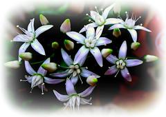 winterdrops (milomingo) Tags: blue white plant flower nature botanical succulent flora pattern purple blossom five cluster vivid jadeplant points bloom bud burst horticulture arid