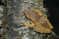 Polypedates leucomystax_MG_4324 copy (Kurt (OrionHerpAdventure.com)) Tags: amphibian frog amphibians commontreefrog polypedatesleucomystax polypedates fourlinedtreefrog frogsofmalaysia