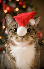 Merry Christmas 3! (Dona Minúcia) Tags: art hat animal cat watercolor painting paper fun funny arte noel study gato santaclaus fofo pintura chapéu aquarela gracinha