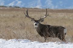 Big Mule Deer Buck (fethers1) Tags: deer muledeer coloradowildlife muledeerbuck rockymountainarsenalnwr rmanwrwildlife