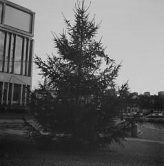 A small christmastree (rotabaga) Tags: gteborg lomo lomography sweden gothenburg christmastree sverige jul tmax400 lubitel166 julgran svartvitt r09 fomadon