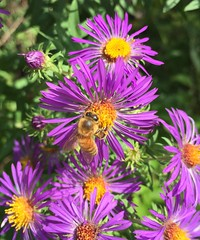#Wildflowers #purple #flowers #honey #bees #bumblebees #gathering #honey #wildlife #wilderness #nature #bushes #plants #growing #green #insects #petals #beautiful #colorful #yellow #life #Michael #Liebler #symmetrical #brilliant #bugs #Ellington #USA (mikeliebler222) Tags: wildflowers purple flowers honey bees bumblebees gathering wildlife wilderness nature bushes plants growing green insects petals beautiful colorful yellow life michael liebler symmetrical brilliant bugs ellington us