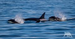 Transient Killer Whales (fascinationwildlife) Tags: animal mammal orca killer whale transient pod wild wildlife nature natur ocean sea monterey bay moss landing usa america california pacific