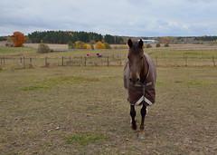 _MAL1751 (Markoliini) Tags: nikon d800e tamron 1530 hst horse hevonen natur nature luonto landskap landscape maisema fall syksy hst