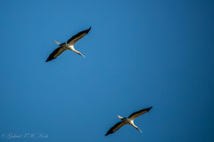 Woodstorks Returning (Gabriel FW Koch (fb.me/FWKochPhotography on FB)) Tags: birds wings flying flight eos wild wildlife wadingbirds shorebirds bluesky outside nature bokeh beauty beautiful dof canon telephotop lseries animals