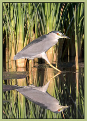 Black-Crowned Night Heron (Ed Sivon) Tags: american america canon nature lasvegas water wildlife wild western southwest shorebird clarkcounty clark vegas bird henderson heron nevada nevadadesert park