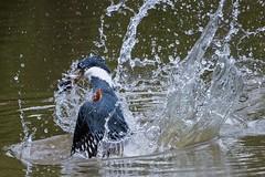 Ringed Kingfisher Breaking The Surface (Barbara Evans 7) Tags: ringed kingfisher catching a fish pantanal brazil barbara evans7
