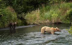Unbearably Thin (rishaisomphotography) Tags: river grizzlybear brownbear kodiak alaska mammal sow cubs apex predatorcarnivore omnivore wild wildlife wildlifephotography nature naturephotographer