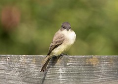 7K8A1987 (rpealit) Tags: scenery wildlife nature kittatinny valley state park eastern phoebe bird