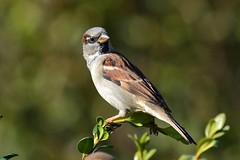 DSC_7113 (sylvettet) Tags: bird moineau sparrow 2016 oiseau nikond5100