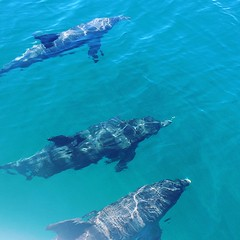 Dolphins (petes_travels) Tags: dolphin dolphins pod watching boat jervis bay new south wales australia