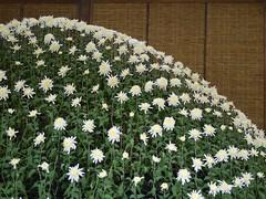 Oodukuri (s.itto) Tags: shinjukugyoen autumn chrysanthemum november morifolium