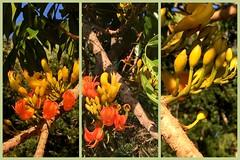 Moreton Bay Chestnut tree in flower (Grenzeloos1) Tags: castanospermumaustrale moretonbaychestnuttree flowers orange spring brisbane 2016