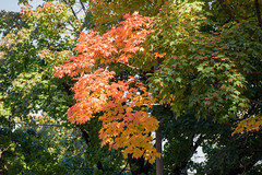 Orange Breaktrhough (caribb) Tags: montreal montral quebec qubec canada urban city 2016 fall autumn fallcolors fallcolours foilage autumnfoilage mapletrees maple autumncolours autumncolors trees orange red green