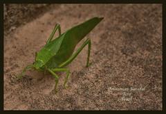 Amazon Katytid (Jamie B Ernstein) Tags: brazil acre amazon nikon katydid insect green macro