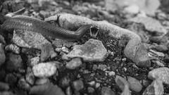 Culebra exaltada (Tachymenis chilensis) (panchojarafoto) Tags: naturaleza snake culebra