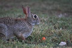 Bunny2 (apulloa@sbcglobal.net) Tags: cottontail rabbit bunny conejo friendly amigable