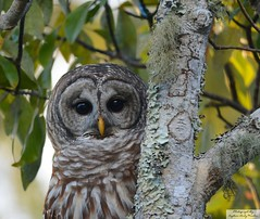 D71_0251 (Capt A.J.) Tags: bard owl barred bared