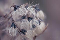 careless whisper (cherryspicks (intermittently on/off)) Tags: plant nature depthoffield soft tender fiber thread carelesswhisper mood wind