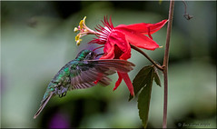 'translucent wings' (d-lilly) Tags: hummingbirds costarica costarica2016 greencrownedbrilliant naturestapestryphotoadventuretours
