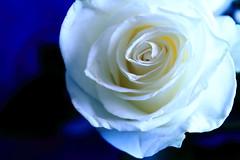 La Puret Spirituelle VII (time_anchor) Tags: roses whiteroses rosaceaerosa flowers whiteflowers innocence purity spirituality love lapuretspirituelle