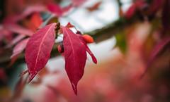 Leaves (blancobello) Tags: leaves rot bltter laub herbst tropfenregen tropfen regen beeren autumn