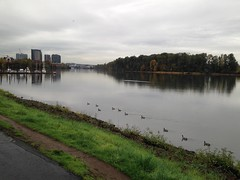 A squadron of geese sail north towards downtown Portland (Tysasi) Tags: photostream canadageese geese willametteriver river portland oregon