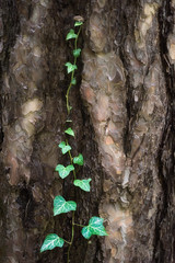 Living in harmony (George Pancescu) Tags: nikon d810 70200mm nature tree plant natural trunk green vine texture rind postavarul brasov romania