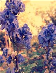 backyard Monkshood ~ HBW! (karma (Karen)) Tags: baltimore maryland home backyard flowers monkshood dof bokeh hbw topf25 cmwd