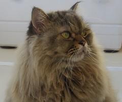 Cat-serie, Sasha - prächtiger Kater, 75299/7624 (roba66) Tags: tier tiere animal animals creature katze cat kitty gato chat pet felines roba66 gatto