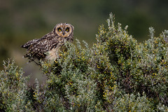 Short-eared Owl - Asio flammeus suinda - Nuco (Paul B Jones) Tags: shortearedowl asioflammeussuinda nuco lagogrey torresdelpaine patagonia chile owl bird aves oiseau nature wildlife animal wild canoneos1dx ef500mmf4lisiiusm sdamerika amriquedusud sudamerica chilean chilenos patagonian photo photograph image picture telephoto southamerica birdschile tour tourism trip ecotourism travel tourist birding birdwatching