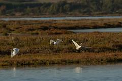 Little egrets (jan.stefka) Tags: canoneos7d egrettagarzetta stagnodimistras littleegret sardinie 2016 volavkastribrita sardegna sardinia