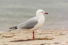 Silver Gull (JLoyacano) Tags: aves jacobloyacano mariaisland mariaislandnationalpark tasmania animal bird gull marsupial sea seagull silvergull wildlife