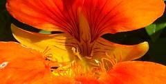 inner nasturtium (Martin LaBar) Tags: coastalmainebotanicalgardens maine flower macro orange nasturtium tropaeolum tropaeolaceae