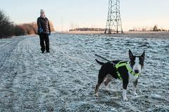 Winter (Tenho Mikkolainen Personal) Tags: helsinki finland fujifilm fujifilmx xpro2 dog dogs dogslife haltiala bullterrier englishbullterrier ebt bully