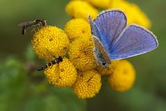 The last nectar (andre de kesel) Tags: lycaenidae lepidoptera commonblue icarusblauwtje boerenwormkruid tanacetumvulgare syrphidae focusstacking fieldstack zerenestacker sonya6300 canonef100mm128lisusm metabonescanoneftosonyesmartadaptermarkiv