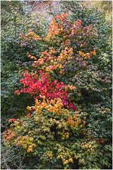 Multicolour (Jistfoties) Tags: dawyckgardens autumn scottishborders botanicgardens landscape canon5d canon24105f4