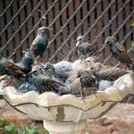 European Starling Bath Frenzy thumbnail