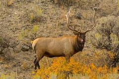 How he loves the rut {Explored} (ChicagoBob46) Tags: bullelk elk yellowstone yellowstonenationalpark nature wildlife explore explored