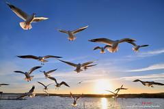 D5B_9624 出航 Fly in the sky (愚夫.chan) Tags: 額濟納旗 居延海 海鷗 seagull 內蒙古自治區 innermongoliaautonomousregion china 飛翔 逆光 日出 sunrise