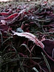 fallen (alainebarnekow) Tags: leaf early fallen red winter frozen frosty freezingcold cold nature fantasticnature beautifulnature ilovenature beautiful beauty natural