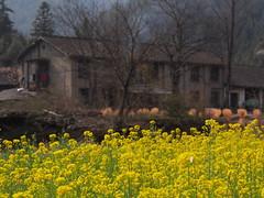 Wuyuan 2016 (hunbille) Tags: china wuyuan province region village huangcun rape seed rapeseed mustard
