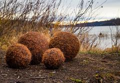 Larch Balls (ebhenders) Tags: larch ball seeley lake swan valley fall tamarack montana