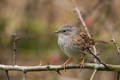 dunnock (mal265) Tags: birds wildlife rspb old moor ngc