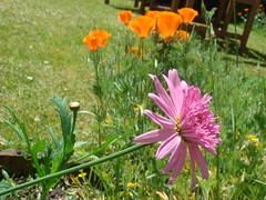 Argyranthemum and Californian Poppies (Abbey_L) Tags: 16stalbansavenue argyranthemum bournemouth californianpoppy flowers ourgarden poppy stalbansavenue tjpio