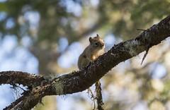East Coast Chipmunk (corybeatty) Tags: canada animal animals wildlife chipmunk tree branch closeup blue atlantic maritimes squirrel